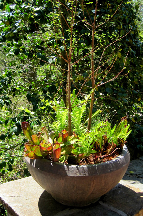 Pitcher plants and ferns are an unusual choice for this bowl in part-sun!