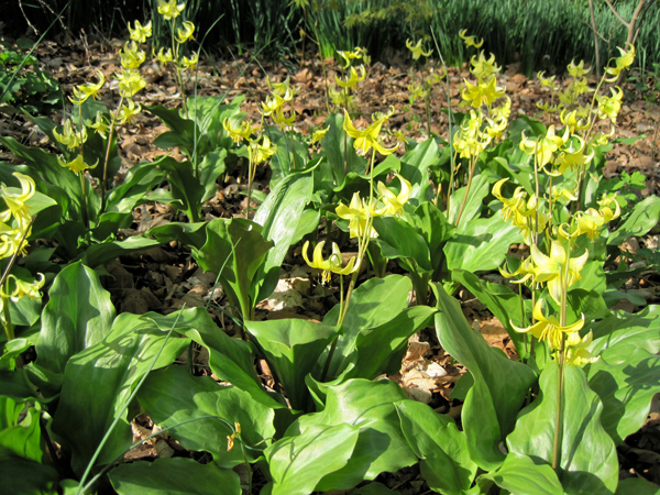 Erythronium at Carolyn's Shade Gardens, Wayne, PA
