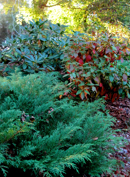 Rhododendrons 'Patriot' and 'Album' with Siberian cypress