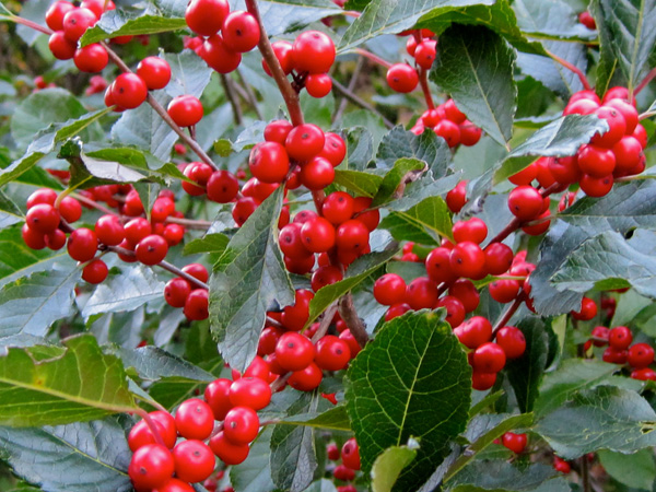 Winterberry holly 'Shaver'