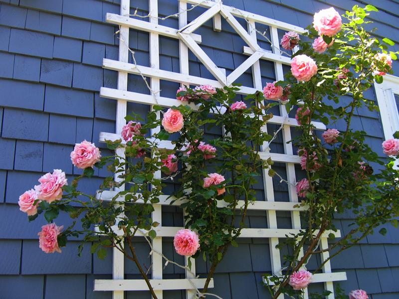 Aloha Rose was one of the roses that I brought from my city apartment, and it blooms to this day on my trellis.