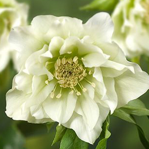 hybridus Double Ellen White-wff.Jpg