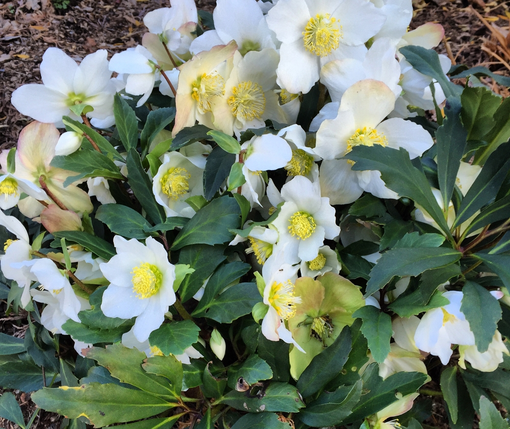 This hellebore Niger began blooming in early December due to our warm winter this year.