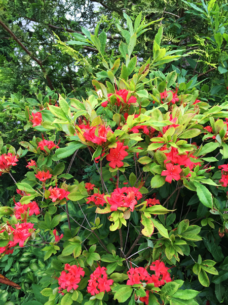 The native deciduous azalea prunifolium, started from a rooted cutting, is now a sturdy 3 foot tall shrub.