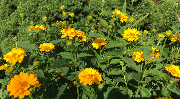 This unknown variety of helenium received from a friend has been cheering up the perennial bed for 15 years.