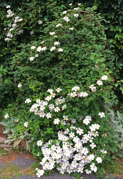 Clematis Huldine has outgrown its trellis and is spreading on the ground and scrambling up the wall of the garage.