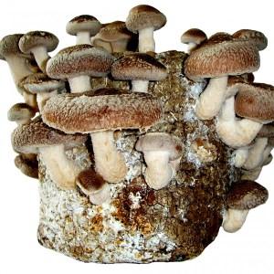 Tabletop mushroom kit