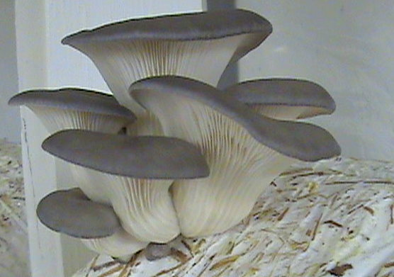blue oyster mushrooms