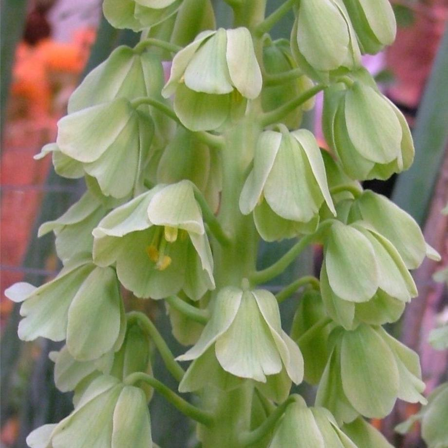 A Fritillaria persica alba has soft white blossoms.