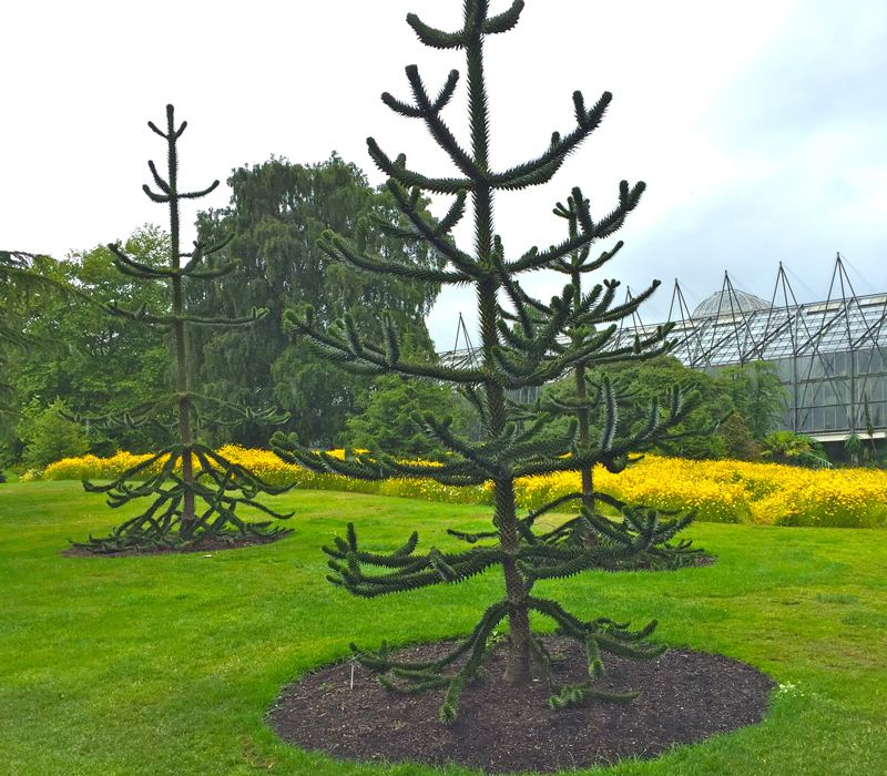 Young monkey puzzle trees in the Biodiversity Garden which illustrates the evolution of plants.