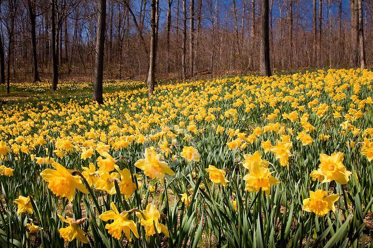 Meriden Daffodil Days