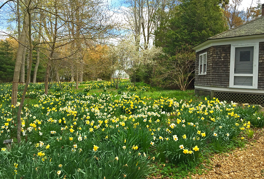 Blithewold Daffodil Days