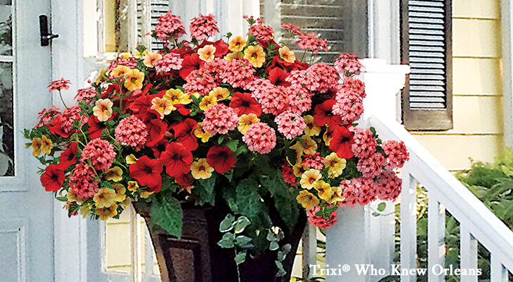 1 Pack Iris Germanica Seeds Bleeding Flower Plants Small Pot for Balcony Garden Living Room Strong Survival
