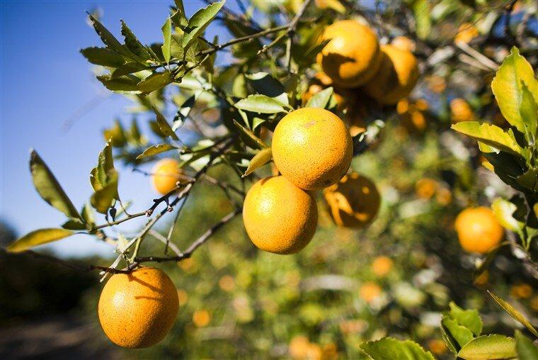170908-florida-oranges-mn-1600_a2e065b2110dd1ecce48812a56aa2939.fit-760w.jpg