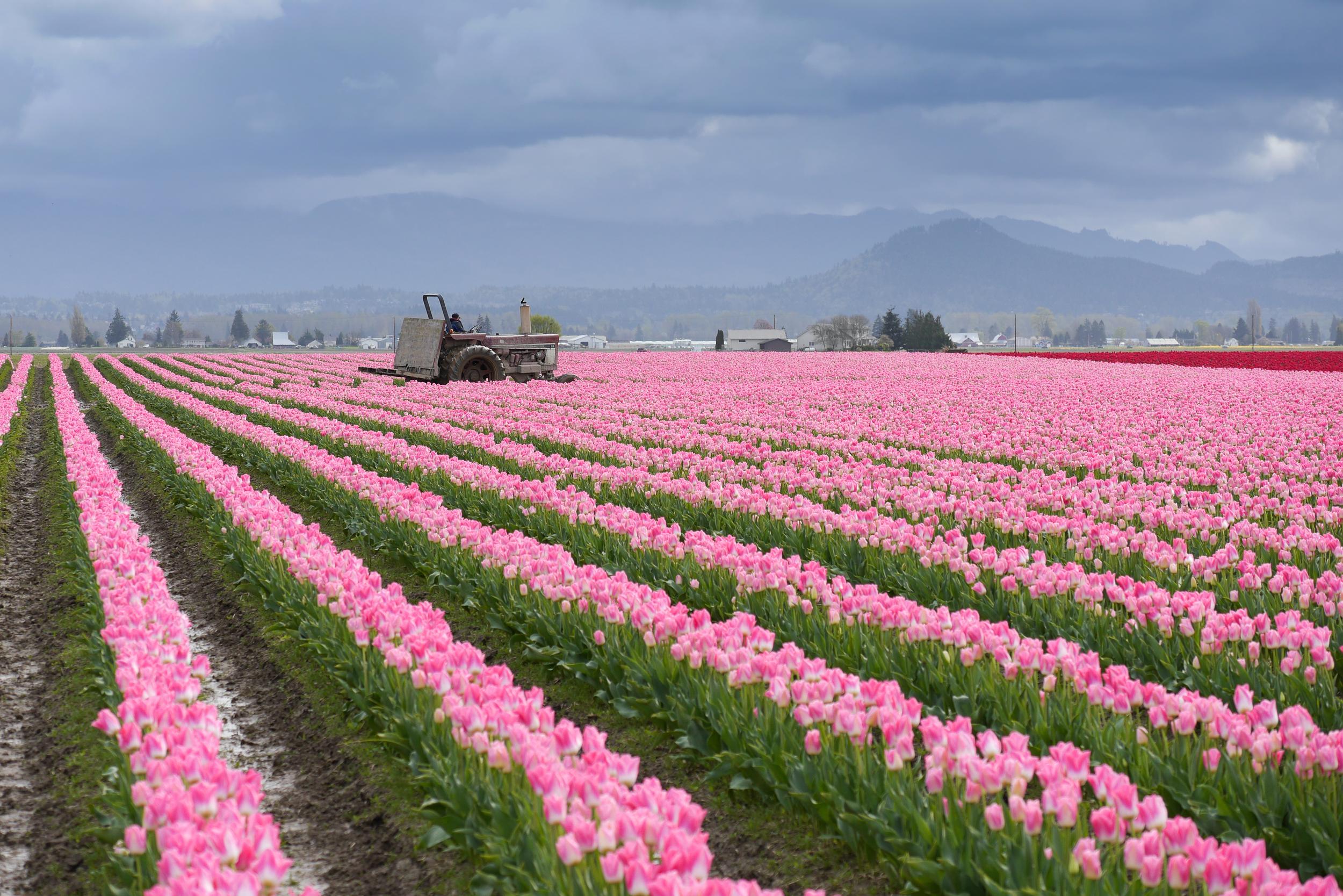 tulips washington-3.jpg