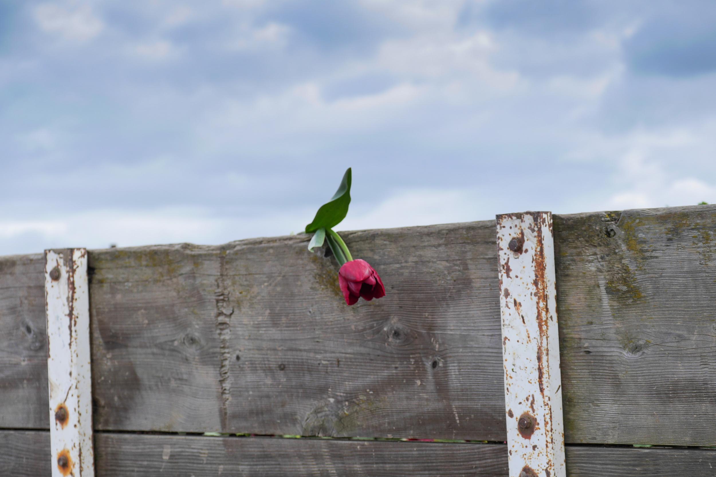 tulips washington-4.jpg