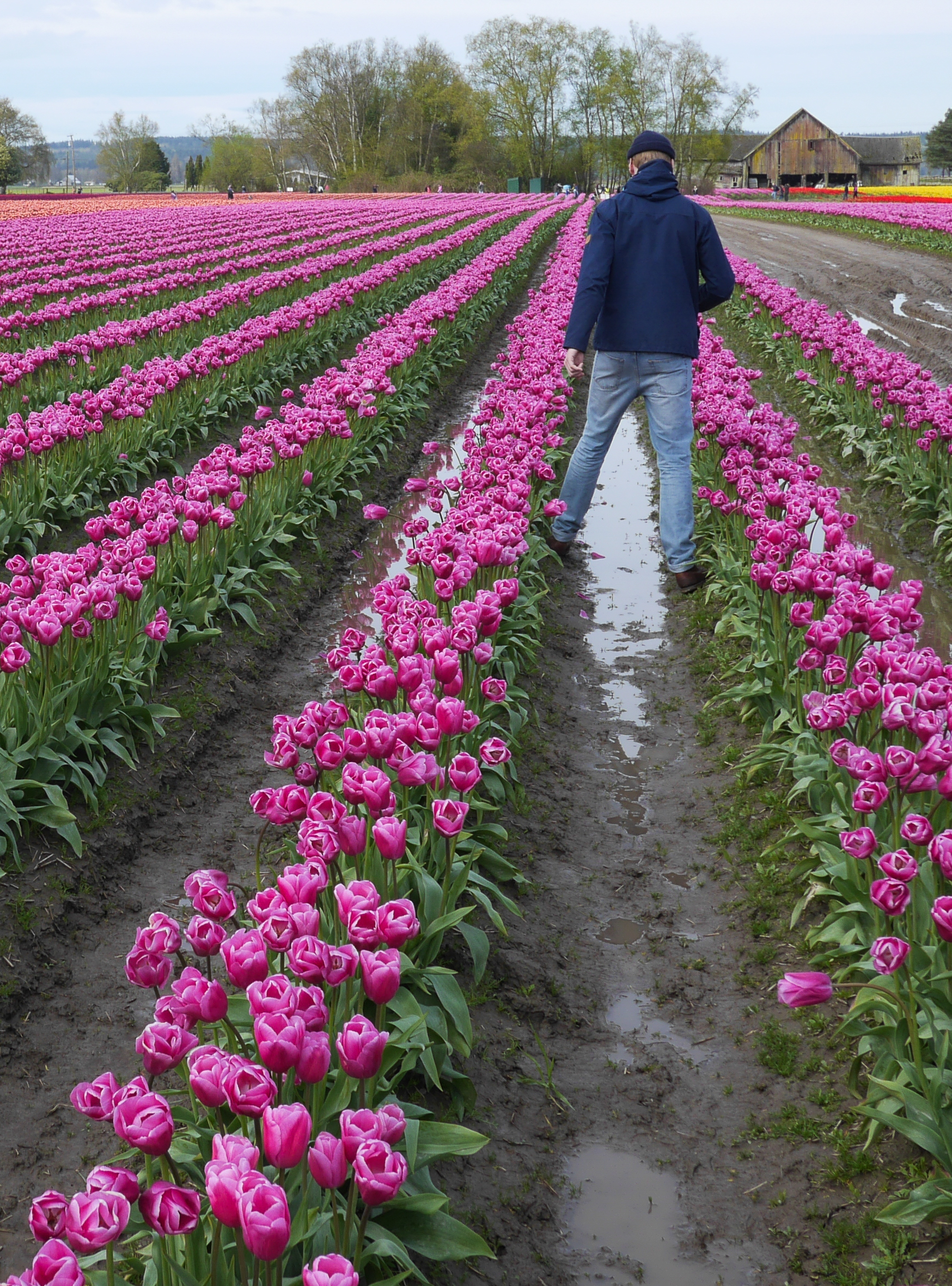 tulips washington-8.jpg