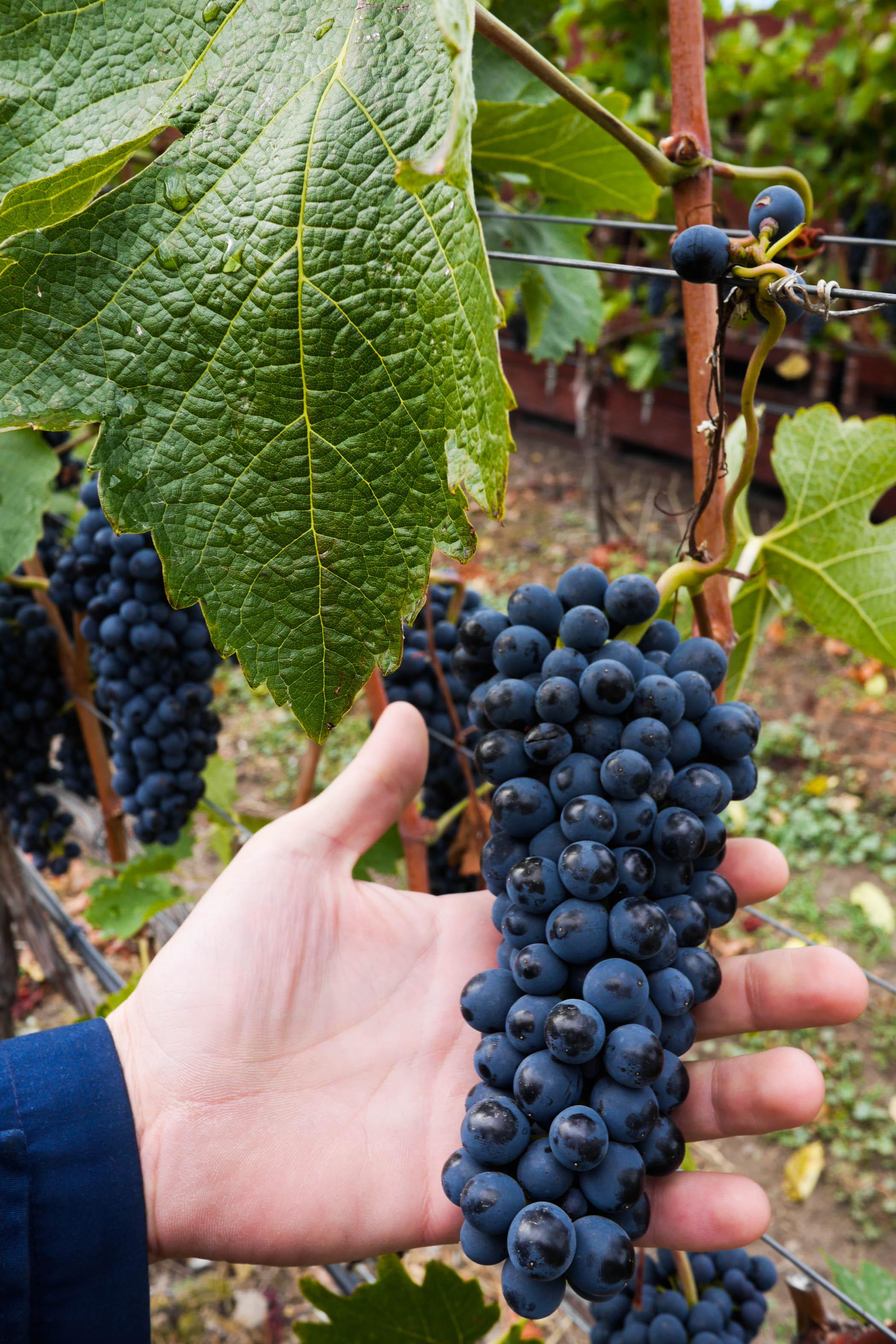 Rape grapes at lovely Nichol Vineyard