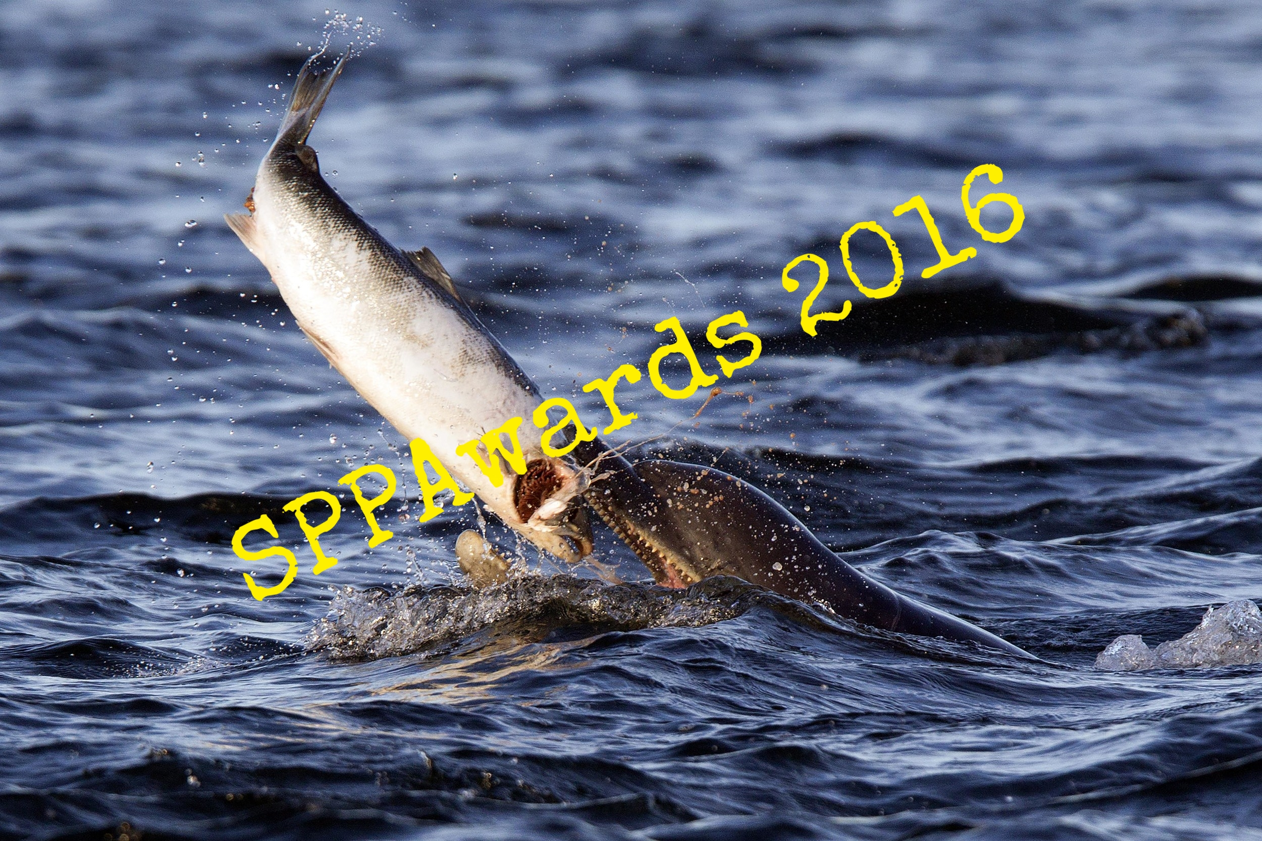 Dolphin Eating Salmon.JPG