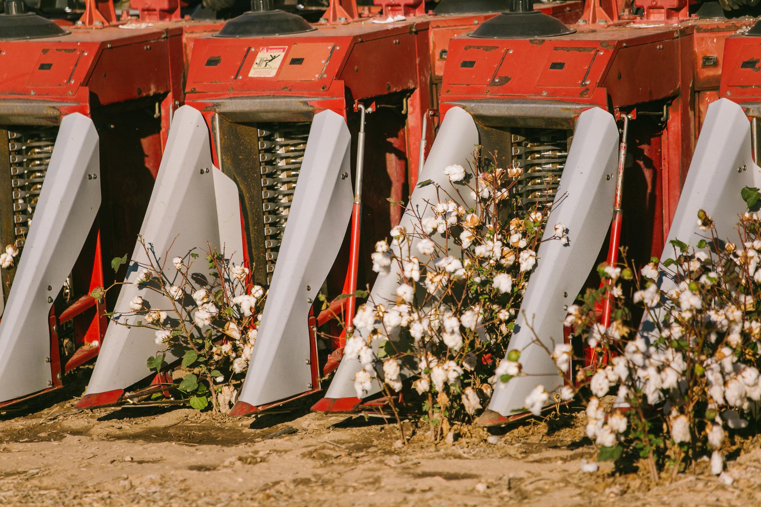 CottonFestival-11.jpg