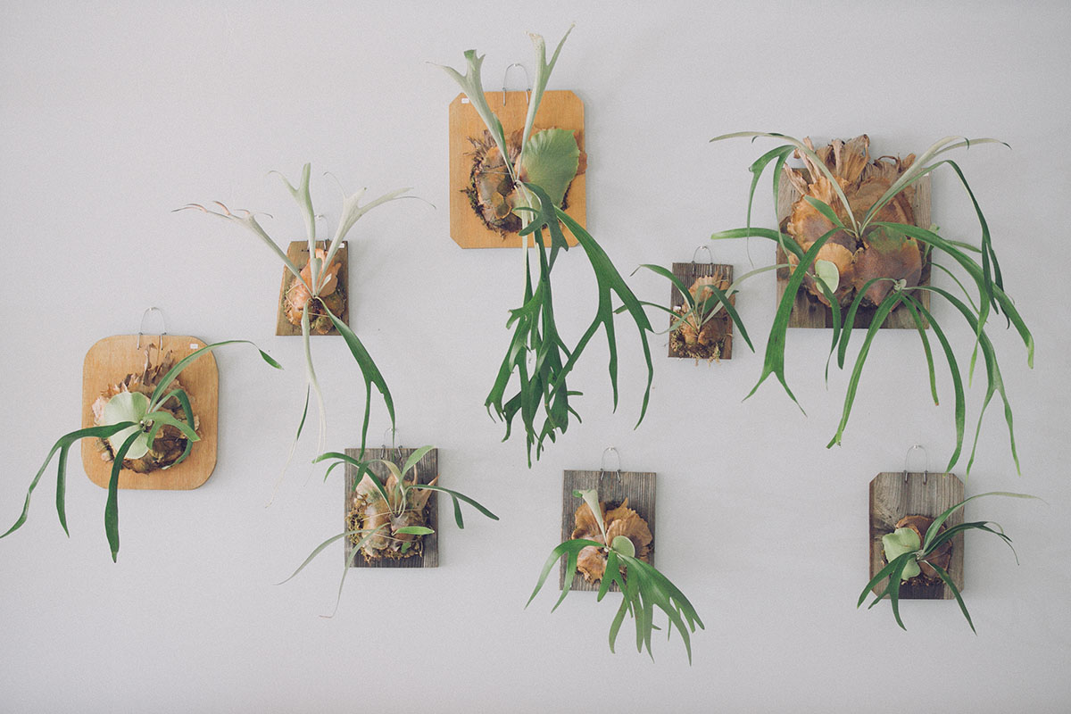 paiko staghorn ferns