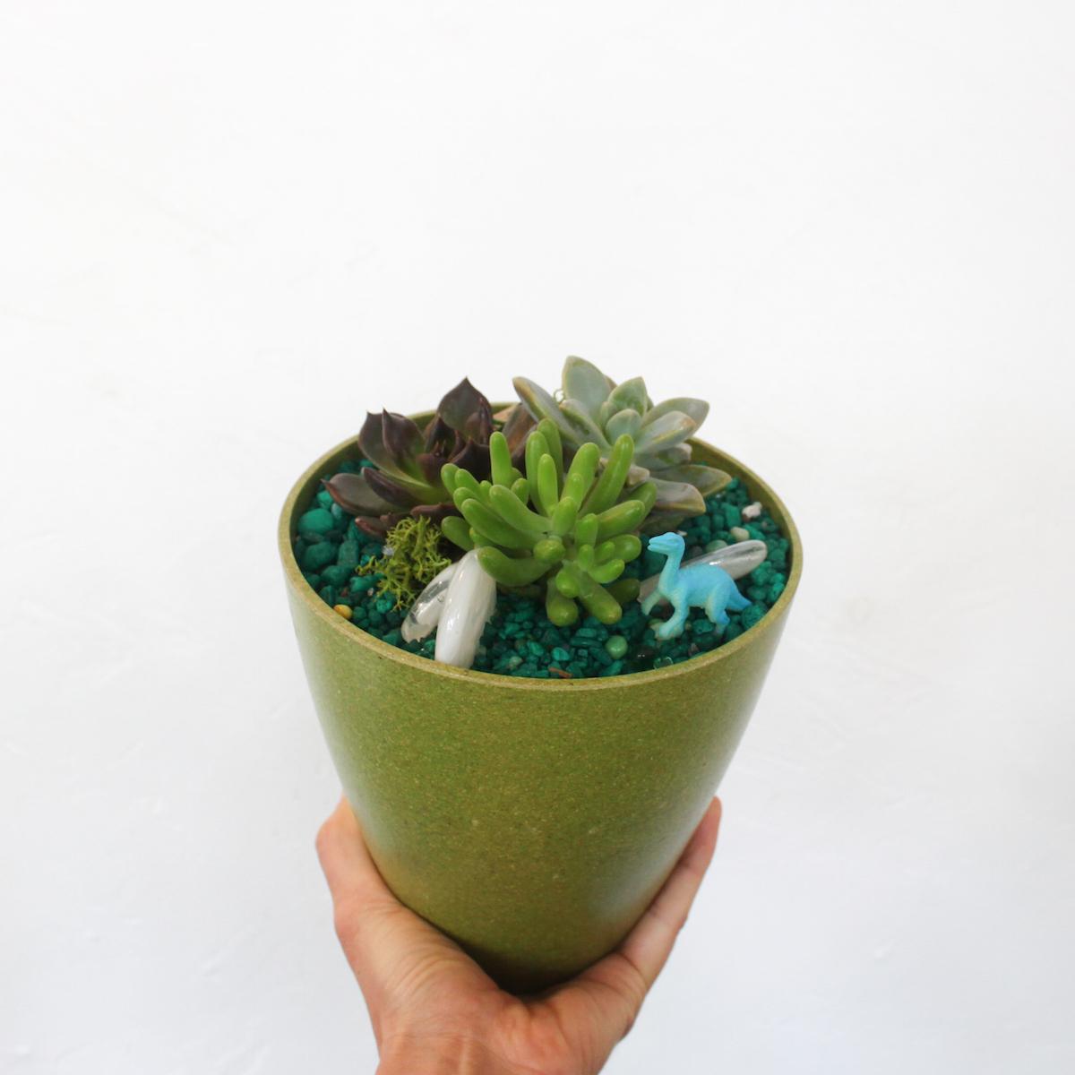 paiko keiki succulent