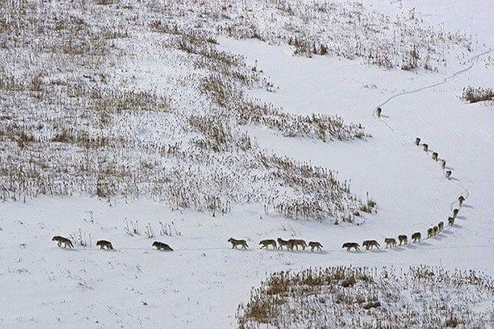 Picture of frail wolves leading the pack, closely followed by the stronger wolves to protect them