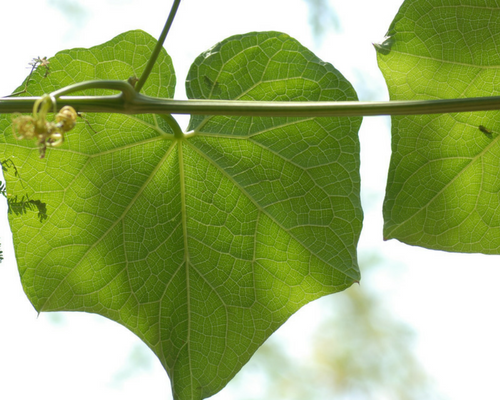 Blog graphic 500 x 500 Choko leaf.png