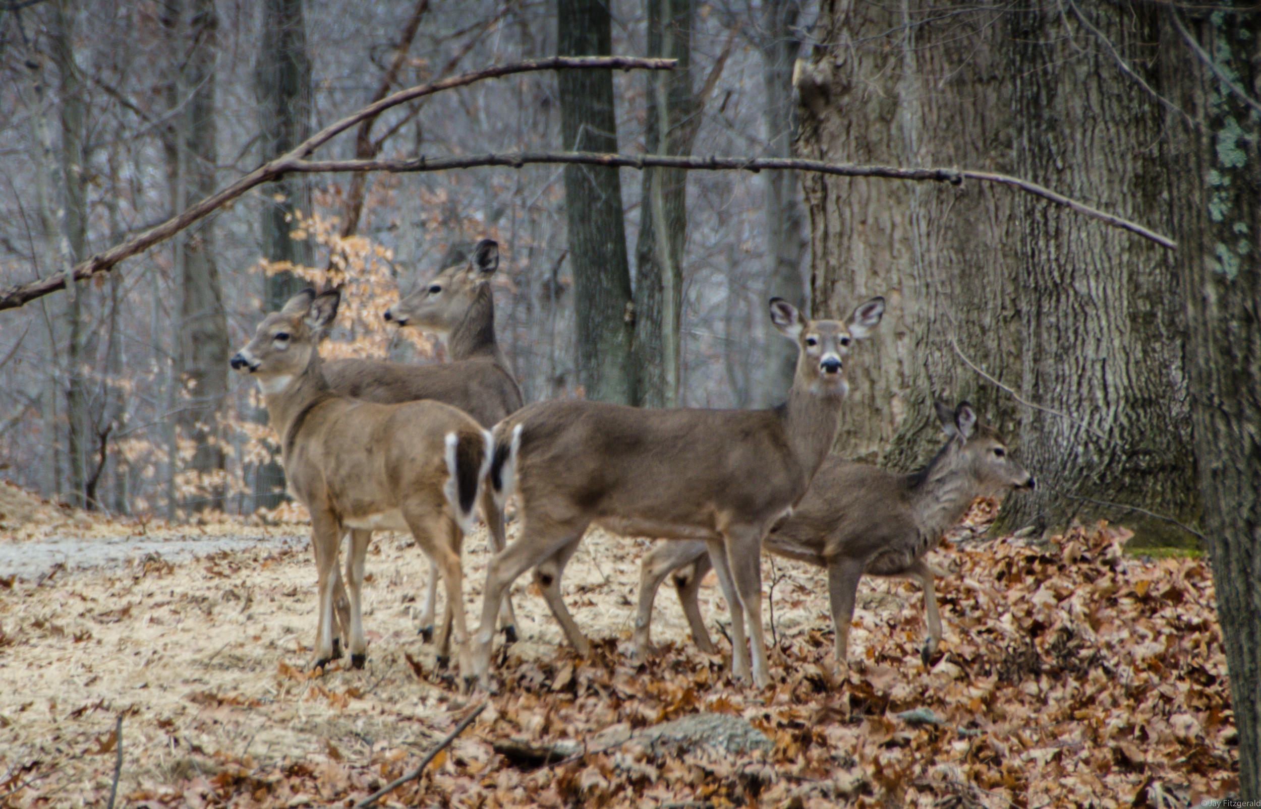 HRA Whitetail Deer 122114-DSC_8513.jpg