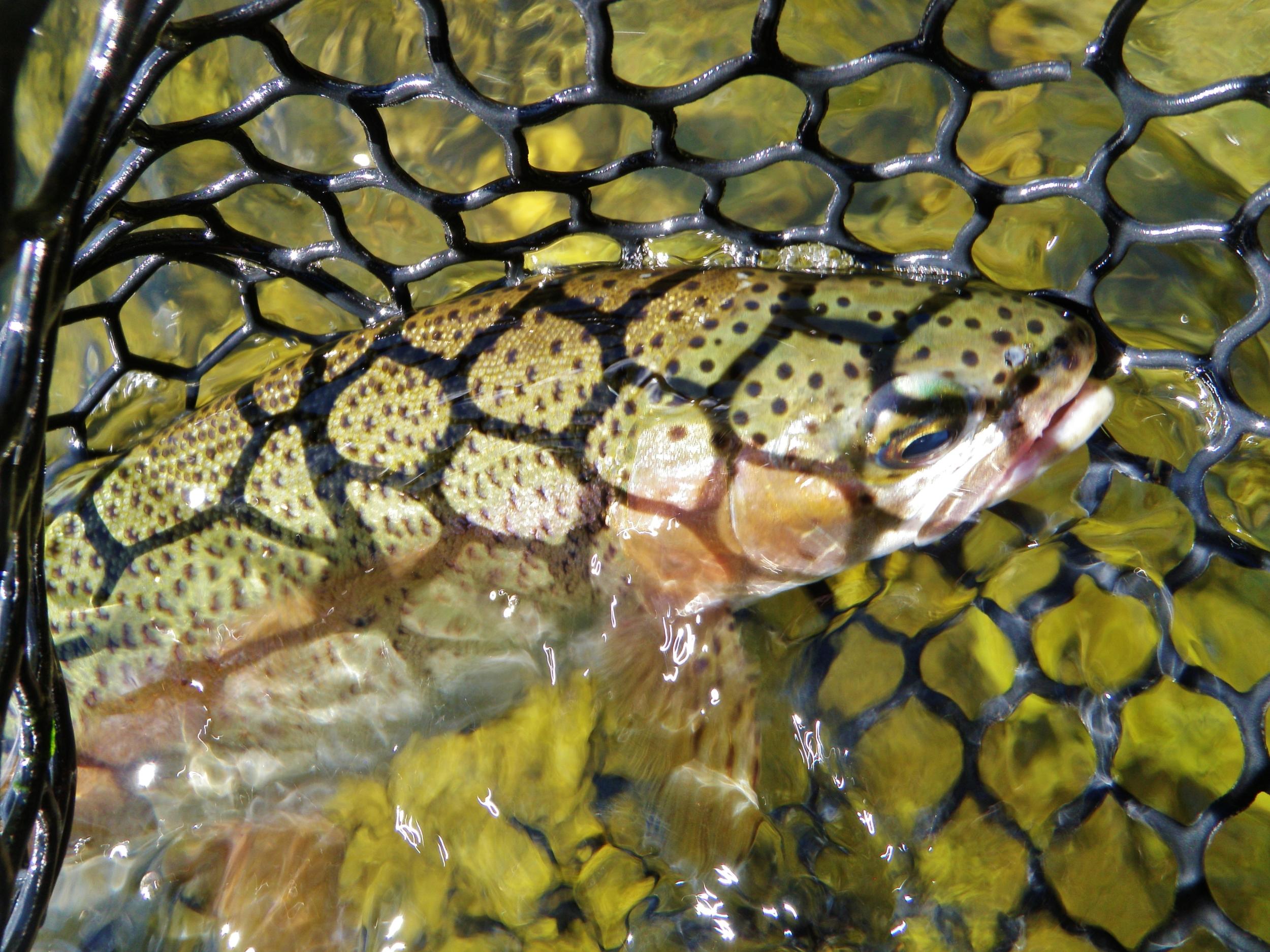 Upper Sac Big Fish Getting Hungry
