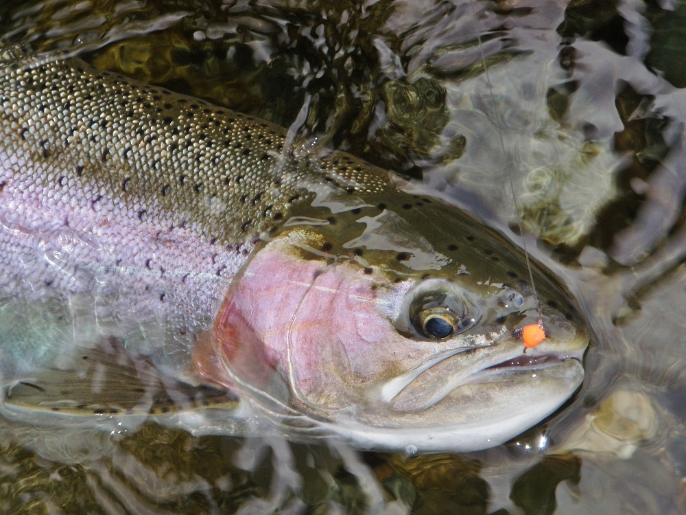 Fresh Winter Run Steelhead Beauty