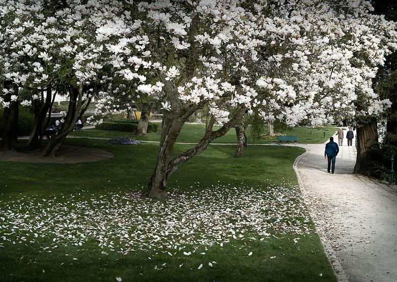 Projet 26 - Paysage - Magnolia dans un parc de Romorantin