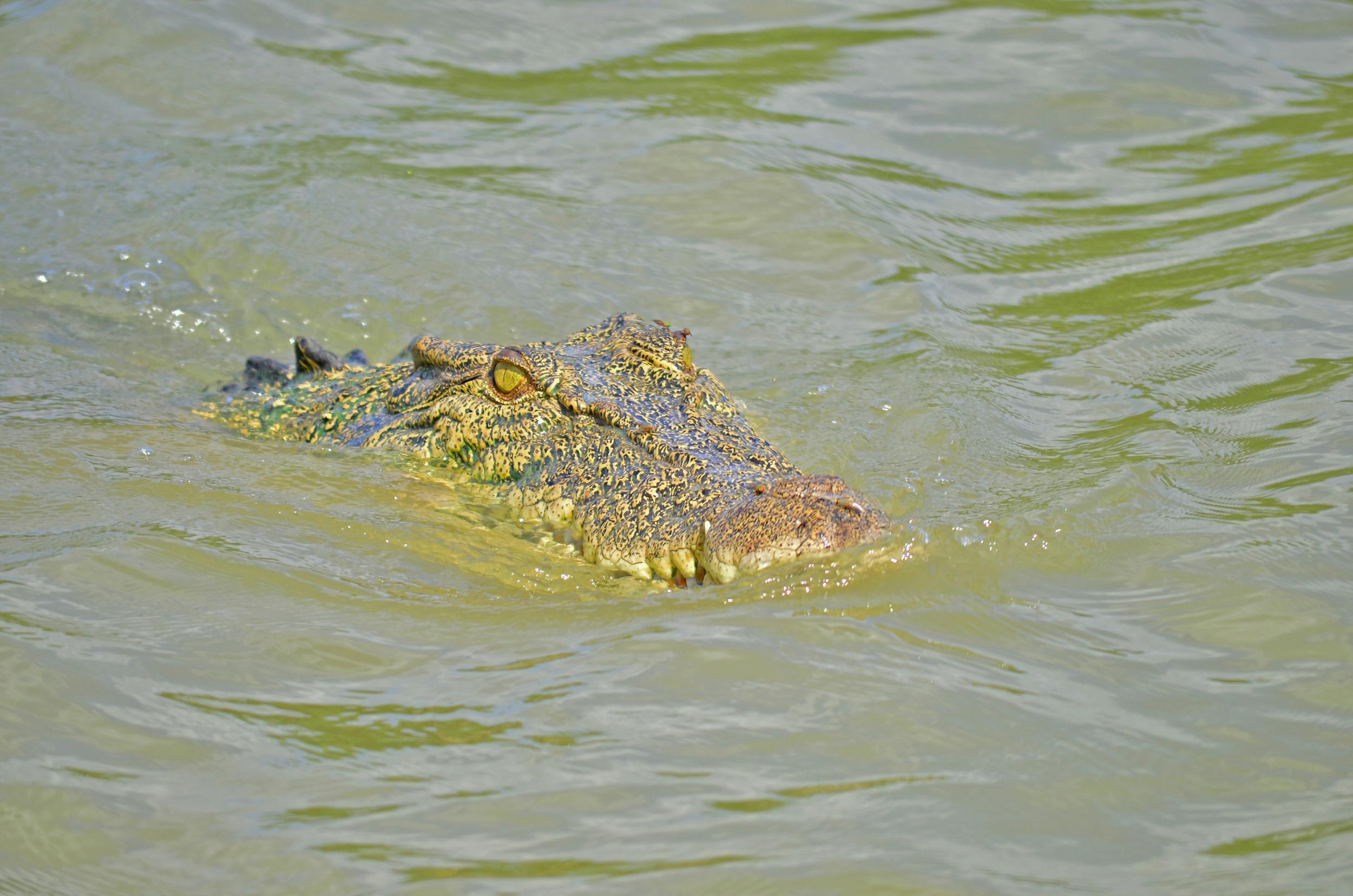 [4] The Crocodile of Kakadu, Northern Territory.