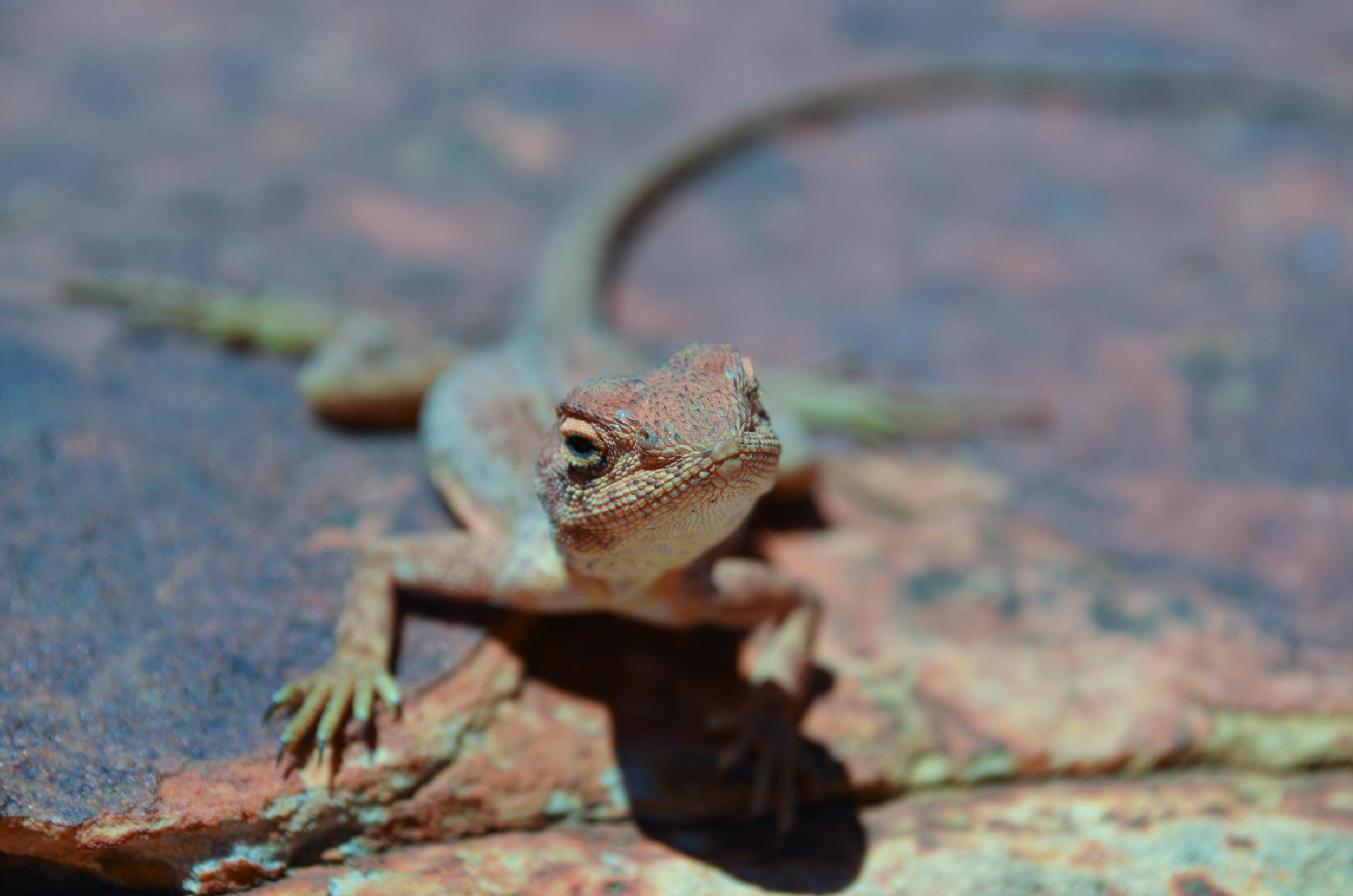 [18] Lizard in the Northern Territory.