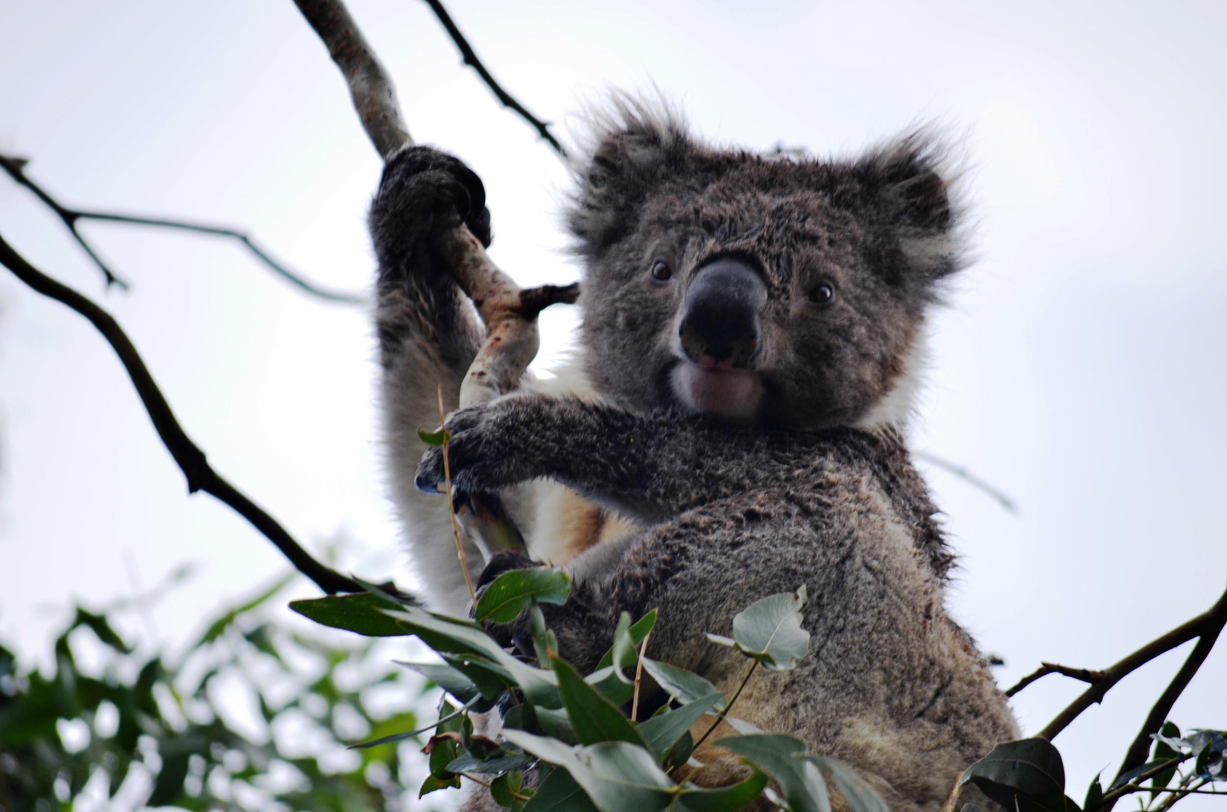 [19] Koalas of Cape Otway, Victoria.