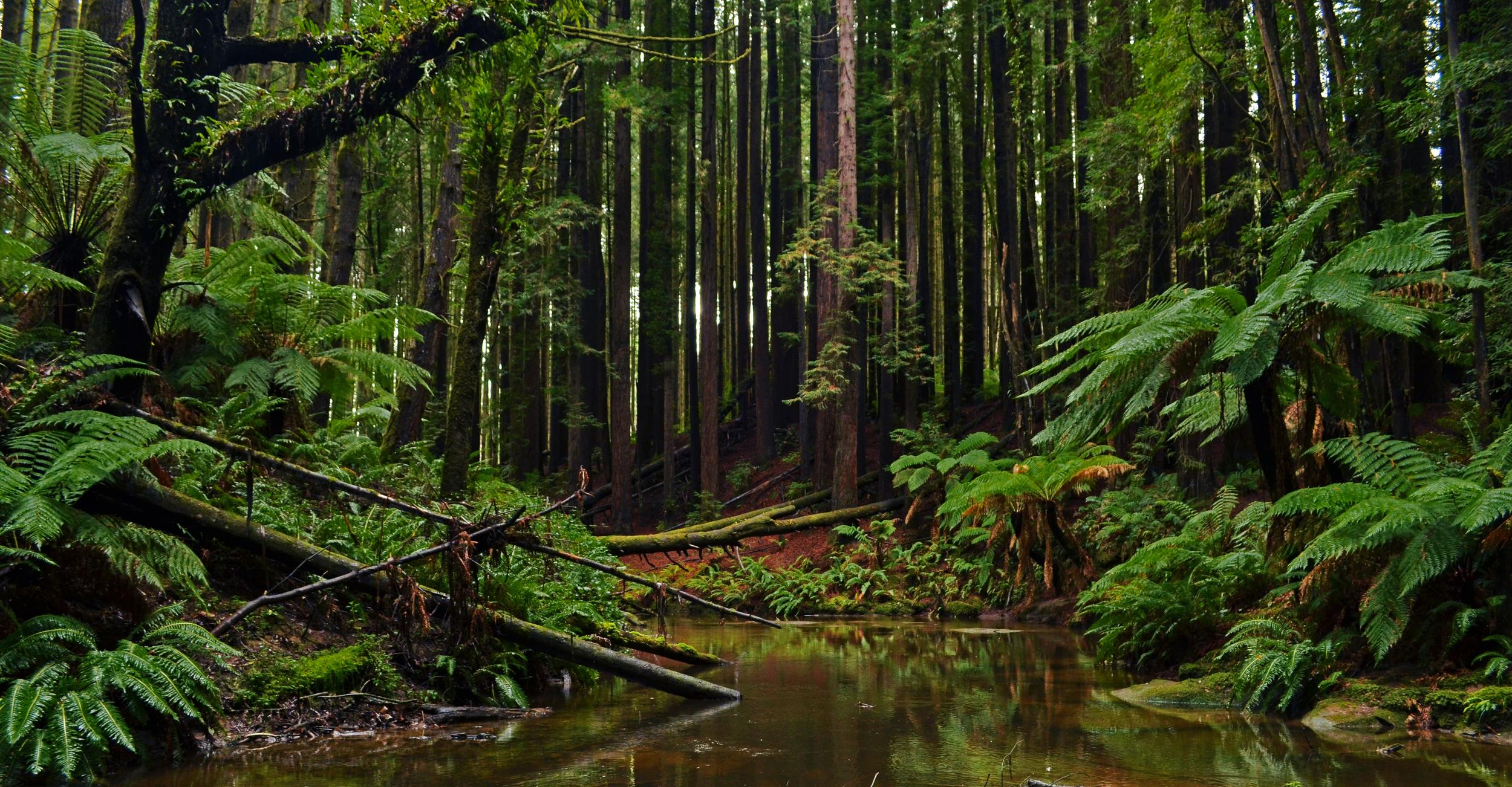 [22] Ponds and Redwoods, Victoria.