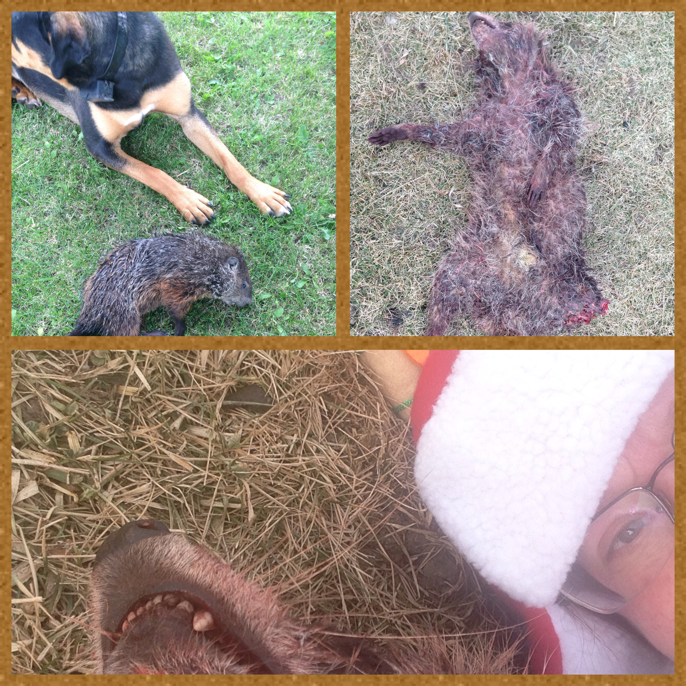Freyja with one of the violators, then one of five coons she executed.  Yes, that is me taking a selfie with a dead raccoon with a crazy antler, Christmas hat.  Time out in the country has taught me to be less squeamish & apparently less fashion conscious ;)