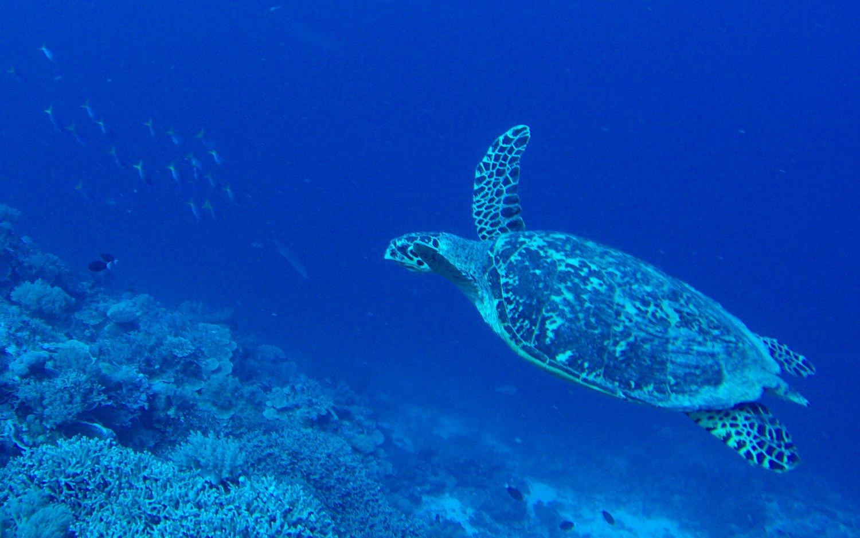 Palau Turtle Scuba