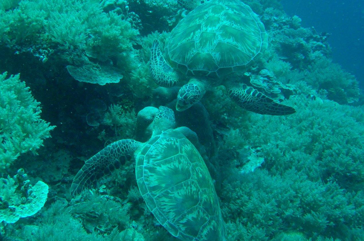 Turtles Palau Scuba Diving