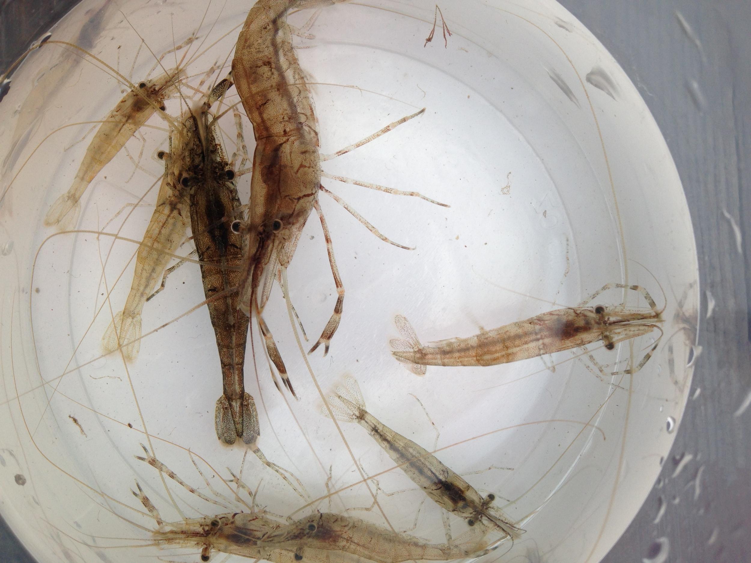 Invasive shrimp from New York