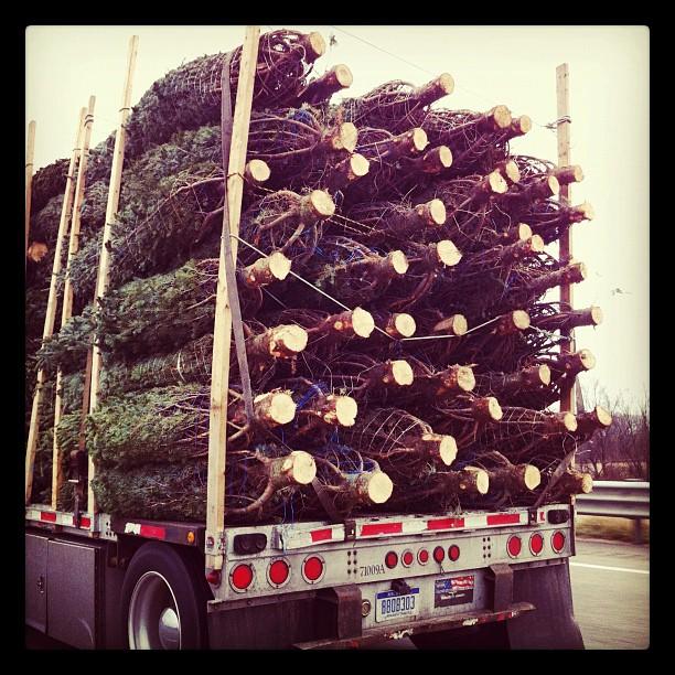 Xmas trees!! (Taken with  instagram )