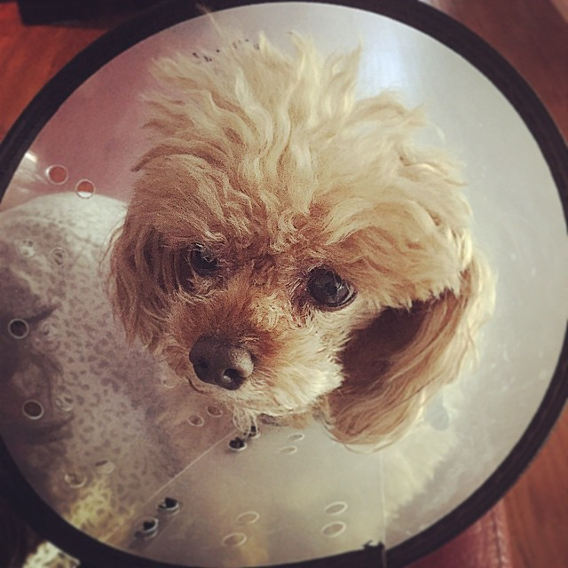 Cancelled gig means that I get to visit this #conehead who is hating life right now. 🐶😢 #pregrammys