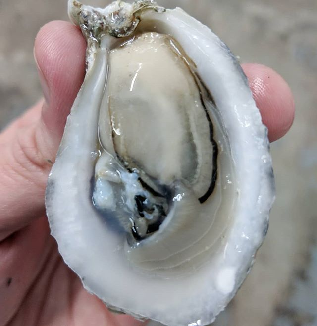 "@capehatterasoyster is flush with perfect petite tided tumbled 2-2.5"" oysters. Salinity is @ 22ppm. 🛬 Thursday."