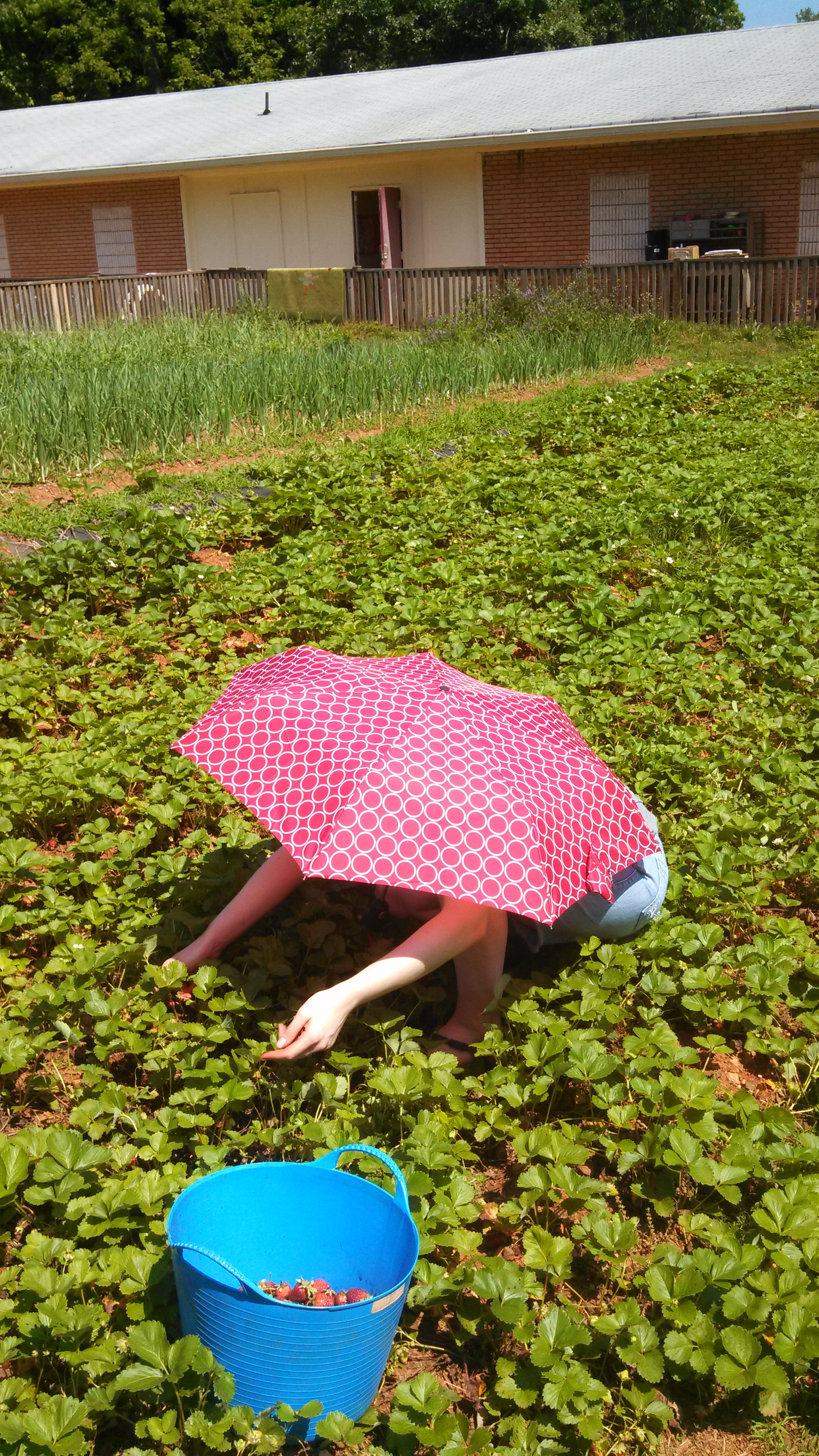 Umbrella in the strawberry patch