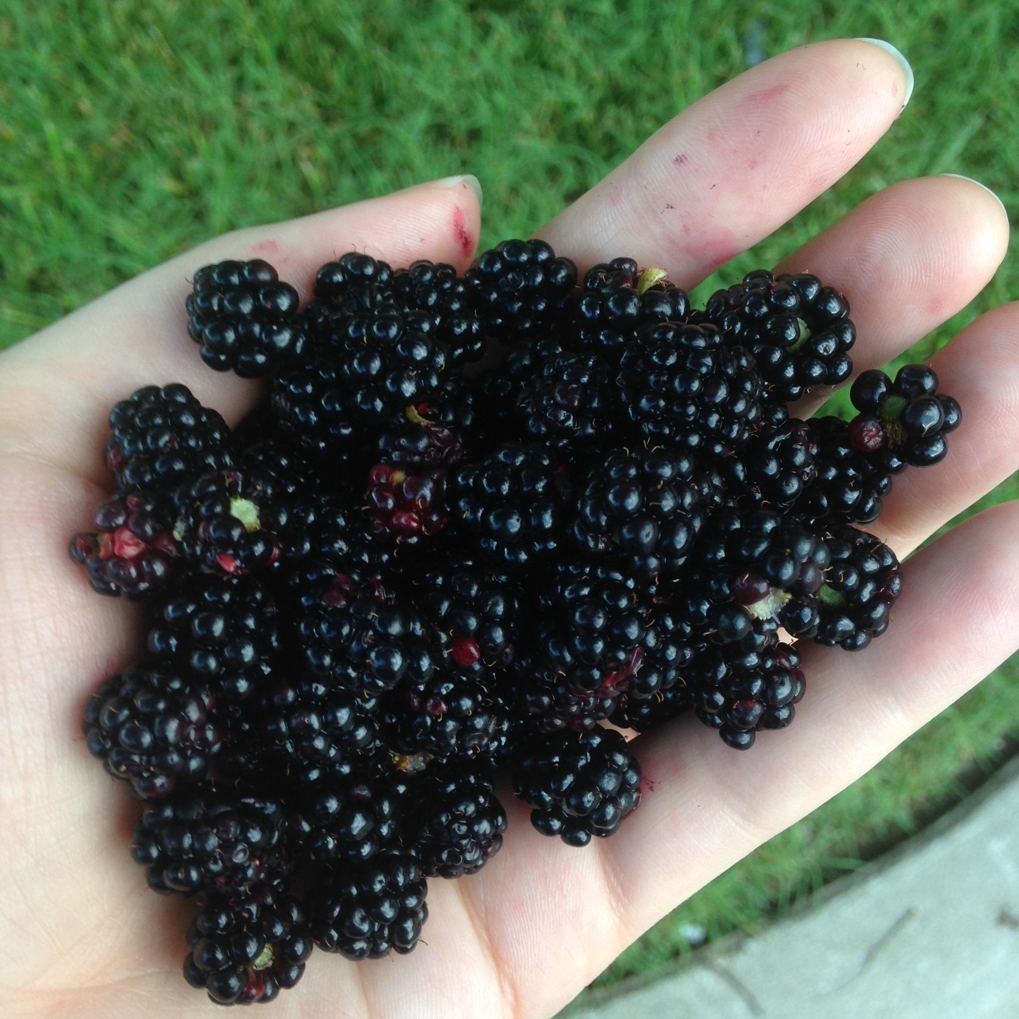 blackberry-abundance