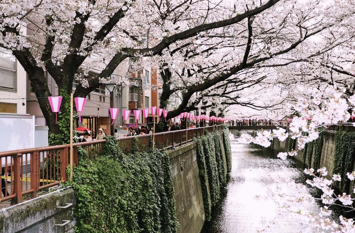 Meguro River - What's a cherry blossom festival like?