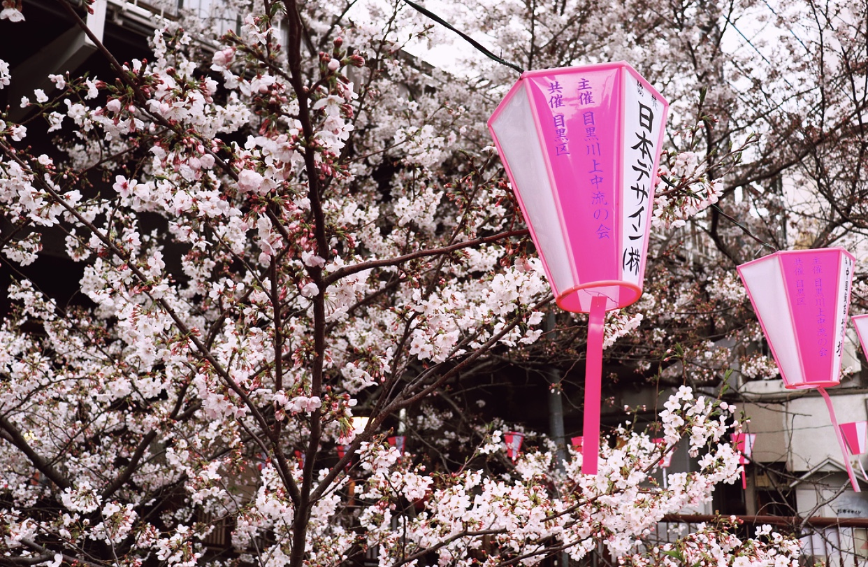The sakura blossoms are waiting for you! -