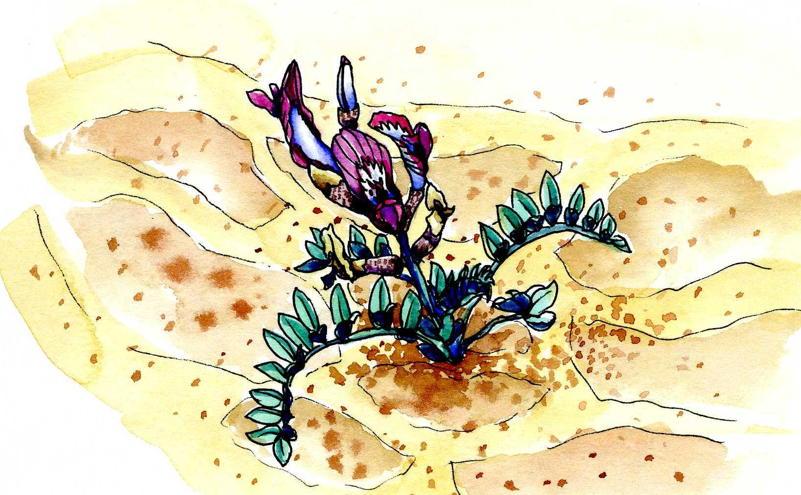 Astragalus sp., Canyonlands National Park