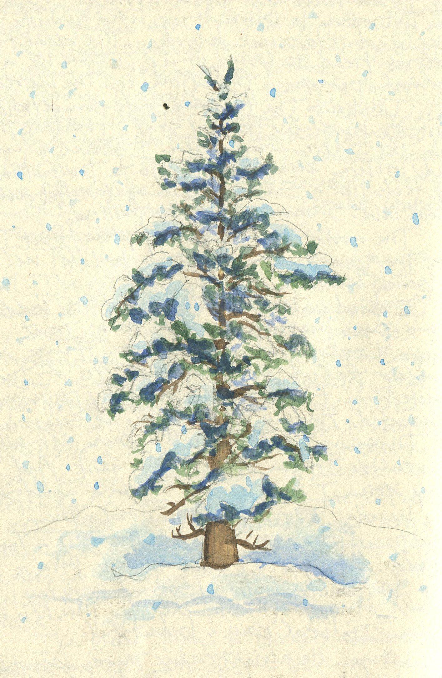 Spruce tree, Denali Park, AK