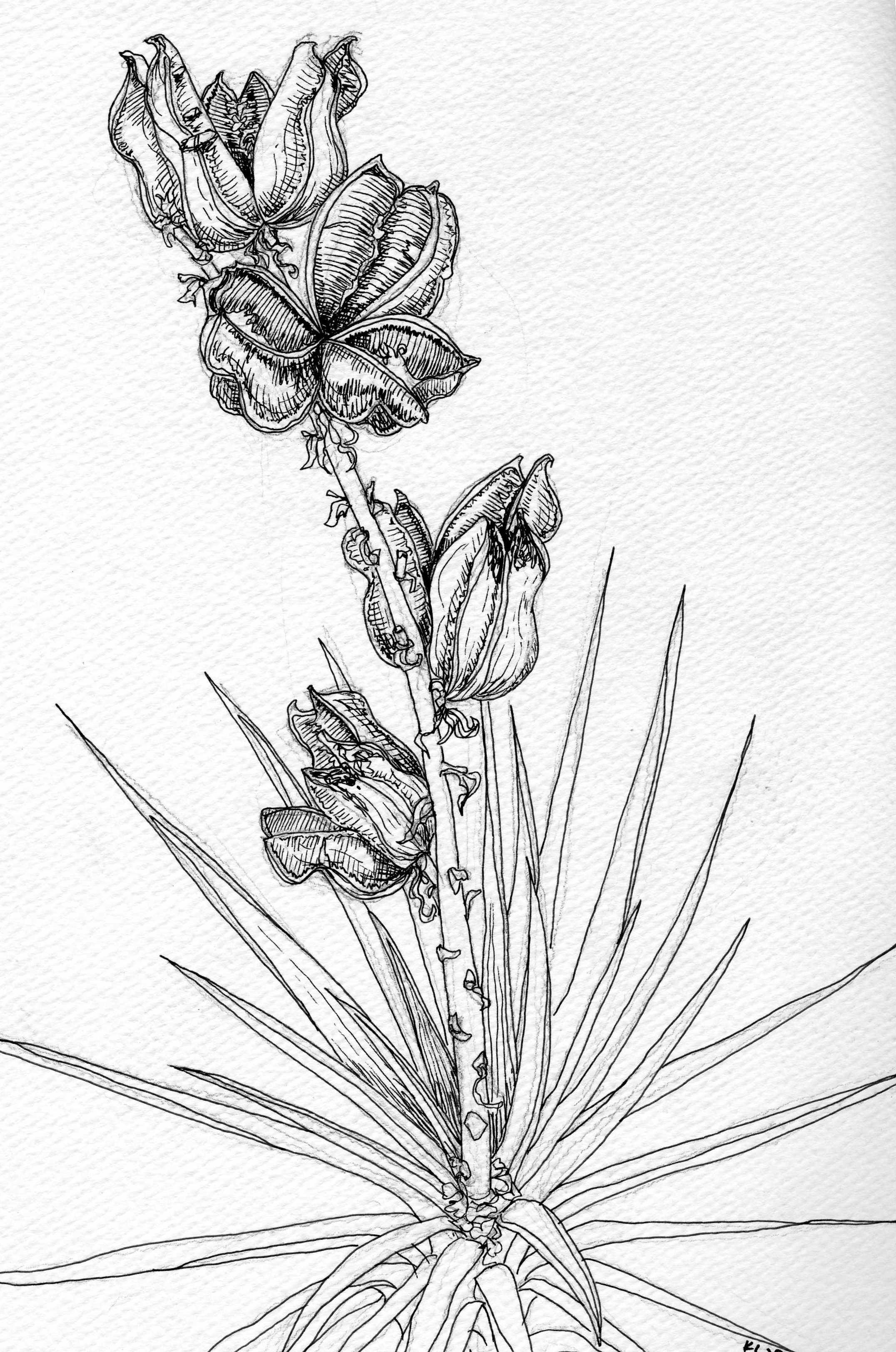 yucca_pen&ink.jpg
